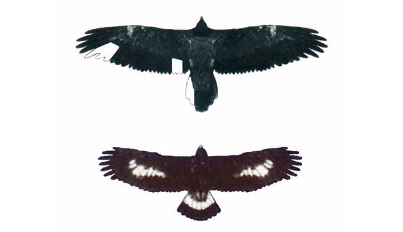 Zum Vergleich: Im Bild oben ein Bartgeier, unten ein Steinadler