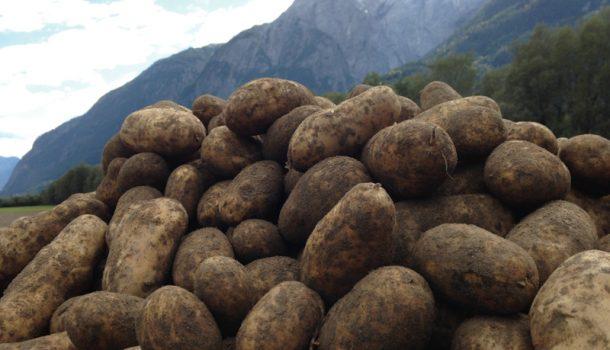 greilkartoffel-c-greil02